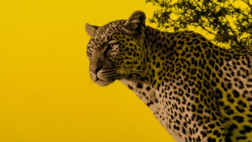 Just Another Yellow Leopard
